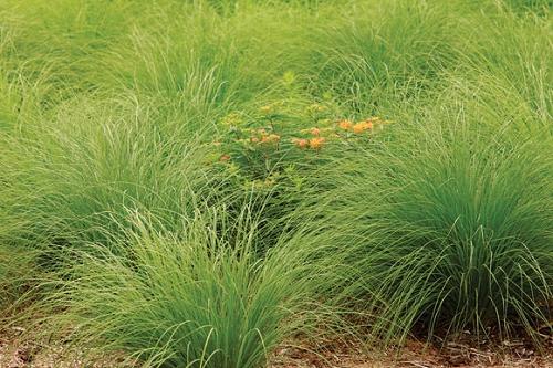 prairie dropseed  sporobolus heterolepis