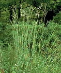Big Bluestem (Andropogon gerardii)