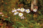 White Doll's Daisy (Boltonia asteroides)