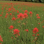 Indian Paintbrush (Castilleja coccinea)