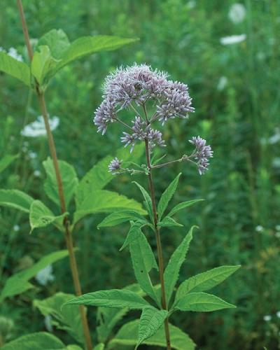 Joe pye weed eutrochium purpureum for Joe pye weed