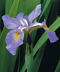 Southern Blue Flag (Iris virginica)