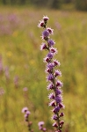 Rough Blazing Star (Liatris aspera)