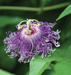 Passion Flower (Passiflora incarnata)