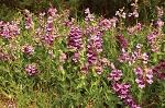 Purple Beardtongue (Penstemon cobaea)