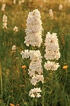 Prairie Beardtongue (Penstemon tubaeflorus)