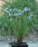 Prairie Blue-eyed Grass (Sisyrinchium campestre)