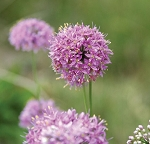 Fall Glade Onion (Allium stellatum)