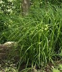 Globe Sedge (Carex grayi)