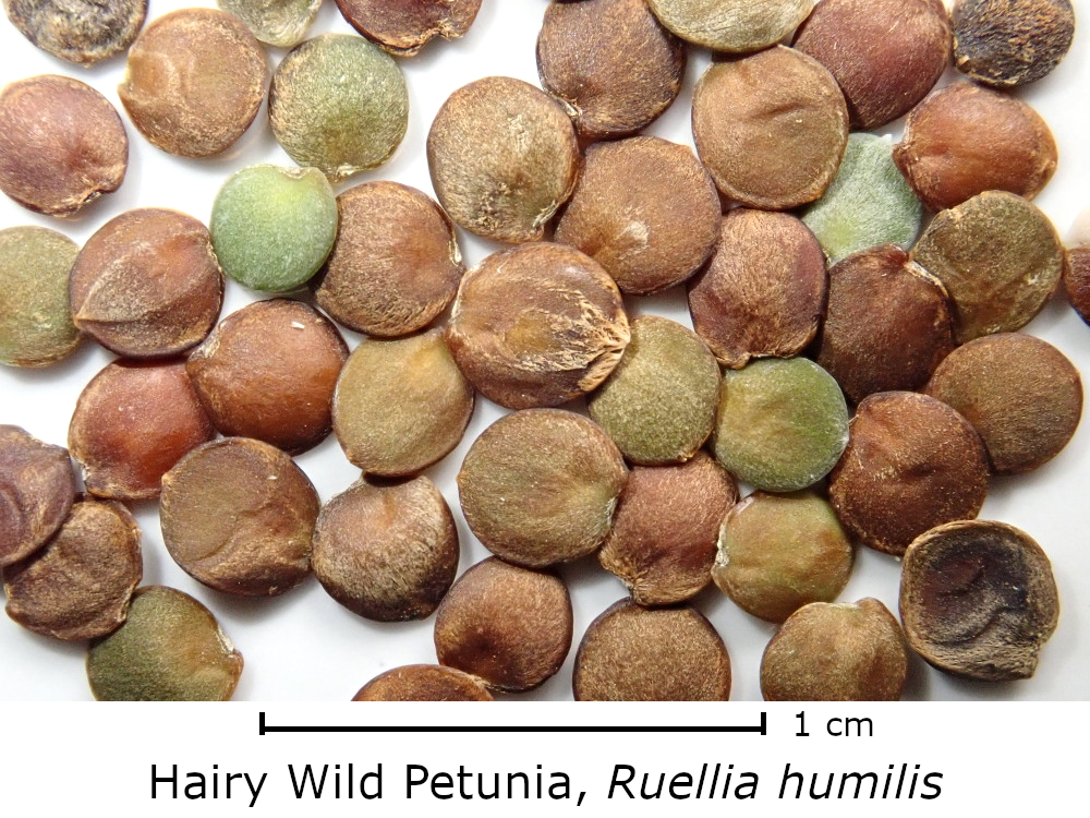 Hairy Wild Petunia (Ruellia humilis)