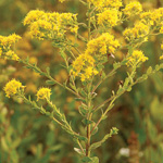 Rigid Goldenrod (Solidago rigida)