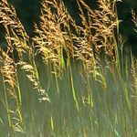 Indian Grass (Sorghastrum nutans)