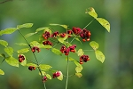 Strawberry Bush (Euonymus americanus)