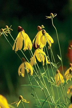 Grayhead Coneflower (Ratibida pinnata)