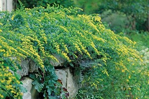 Cliff Goldenrod (Solidago drummondii)