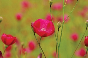 Fringed Poppy Mallow (Callirhoe digitata)