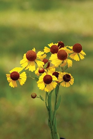 Purple-headed Sneezeweed (Helenium flexuosum)