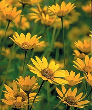 Ox-eye Sunflower (Heliopsis helianthoides)