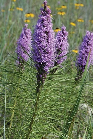Bottlebrush Blazing Star (Liatris mucronata)
